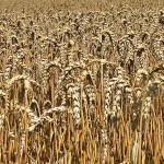 corn-1559413_1280