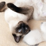 thai-cat-1710123_1920